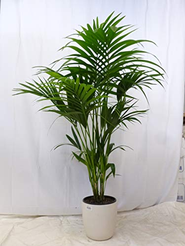 [Palmenlager] Howea forsteriana - Kentia Palme - 120 cm/Zimmerpflanze - Zimmerpalme