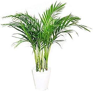 アレカヤシ 観葉植物 ホワイトセラアート鉢 ヤシの木 日陰や寒さに強い やしの木 インテリア
