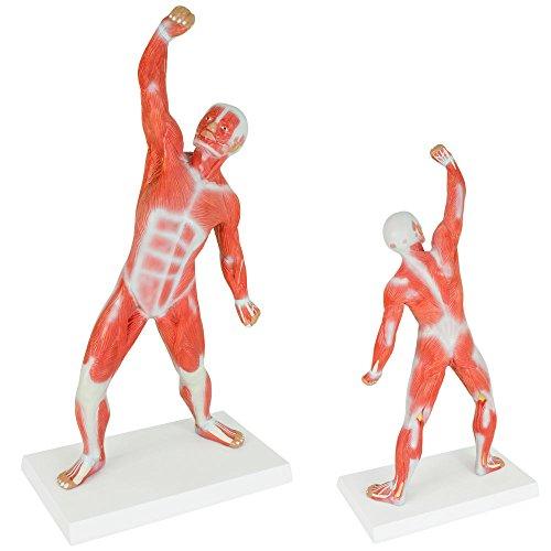 Muskel Torso Anatomie Modell Muskelfigur Muskeldarstellung 50 cm Medmod