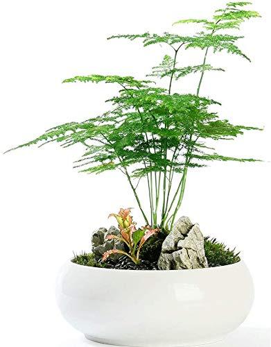 Farnblatt Plumosus Spargel Farnsamen 6+ Leicht zu züchten Große Zimmerpflanze