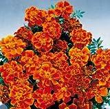 SEEDVALLEY Marigold Safari Escarlata