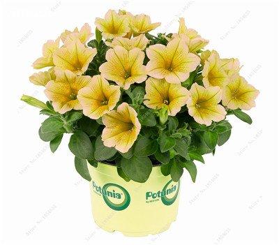 50 Pcs Pétunia Graines de fleurs pétunias Jardin Bonsai Balcon Petunia hybrida Flower Seed Plantes décoratives pour jardin 10