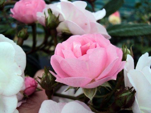 Ramblerrose Perennial Blush ® Containerrosen im großen 7,5 Liter Topf