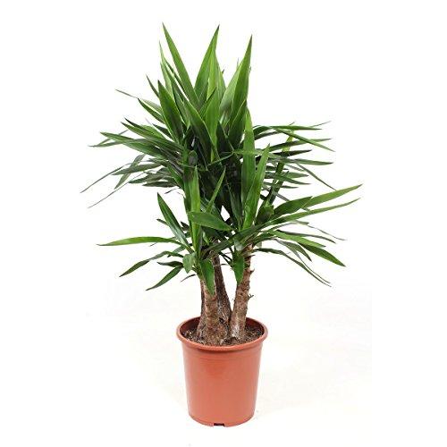 Planta de interior de Botanicly – Palmera Yucca – Altura: 100 cm – Yucca elephantipes Gigantea