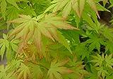 Pianta di Acero Palmato Giapponese'Acer Palmatum' in vaso ø18 cm h. 100/150 cm