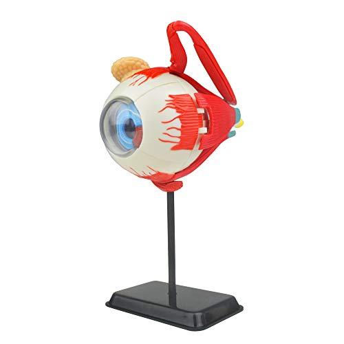 Modello occhio anatomico umano   35 pezzi puzzle 3D occhio umano   perfetto per lo studio anatomico   Costruisci il tuo museo anatomico   grande regalo per infermieri, dentisti, studenti di medicina