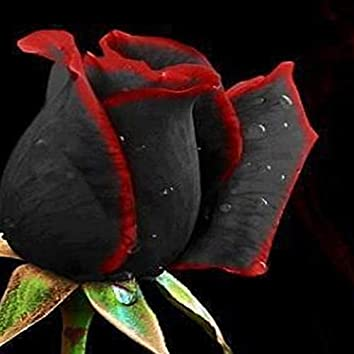 Un Trandafir Creste La Firida Mea (feat. Pindu)