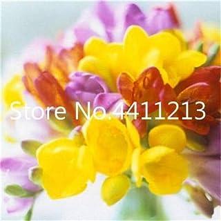 GEOPONICS SEMILLAS: 150 piezas/bolsa de Fresia de la planta, Fresia Fresia flor de Bulbos de flores Bonsai Flores de la orquídea Freesia Rizoma flores bulbosas: 19