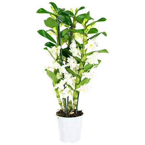 Choice of Green - Dendrobium nobile Apollon - Plante d'intérieur en pot de culture ?12 cm - Hauteur ?60 cm