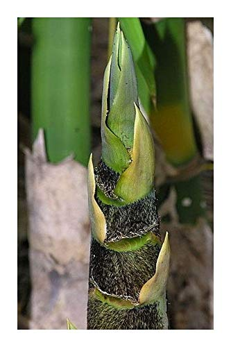 Bambusa vulgaris - grand bambou - 100 graines