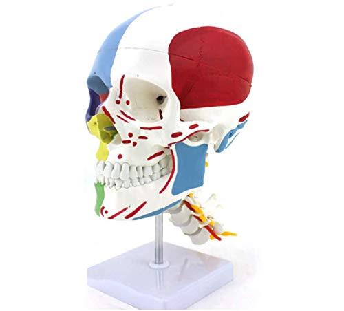 Plantilla de cráneo humano, modelo de la partición del cráneo Modelo muscular, anatomía Kit de plantilla de cráneo de la anatomía Plantilla de cráneo humano médico para la enseñanza neuro-ortopédica