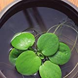 Semillas de plantas acuáticas, 100 piezas Hydrophyte Semillas Semillas DIY decorativo Green Garden primer plano acuario de agua de la hierba caseros para la jardinería Ideal regalo al aire libre