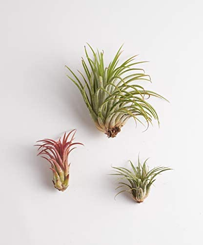Shop Succulents | Assorted Collection | Variety of Species, Tropical House Plant for Home Décor, DIY Terrariums, 4-Pack