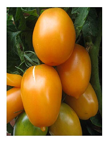 Premier Seeds Direct Orange Banana Tomate enthaelt 100 Samen