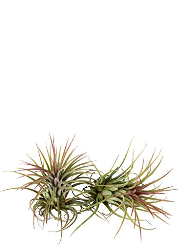 Tillandsia ionantha 'Rubra' 2 piante/H 8 Cm.