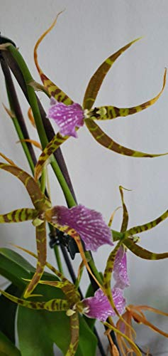 Stk - 1x Odontobrassia Billabong Celle Multiflower Meristem Orchidee OW144 - Seeds Plants Shop Samenbank Pfullingen Patrik Ipsa