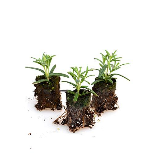 Kräuterpflanzen - Rosmarin/Blue Winter - Rosmarinus officinalis - 3 Pflanzen im Wurzelballen