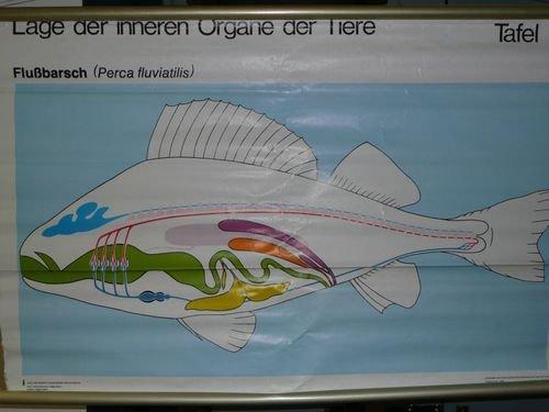 Tafel 1: Flußbarsch (Perca fluviatilis)