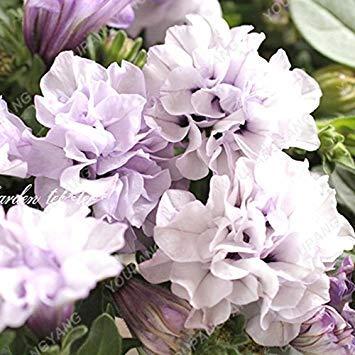 VISTARIC 1: de Canna indica seeds. Perennial énorme fleur en pot herbes graines pour rouquine maison et jardin brun plant. Lily Variété Bonsai Seed 1