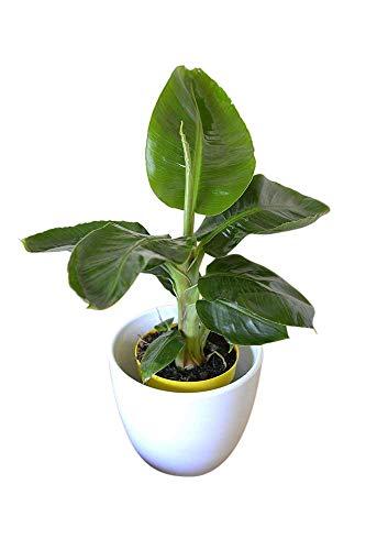 Plante d'intérieur - Plante pour la maison ou le bureau - Musa tropicana nain - Bananier 30 cm