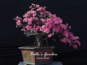 100 pcs / sac Variétés graines Azalea, belle plante de fleurs Accueil Jardin Fleurs en pot semences intérieur Graines Bonsai 2