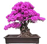 prime vista 50 piezas Bonsai de buganvilla, planta en maceta, flor de buganvilla, variedad completa, la tasa de florecimiento del 95%, para la plantación de jardín de su casa: 12