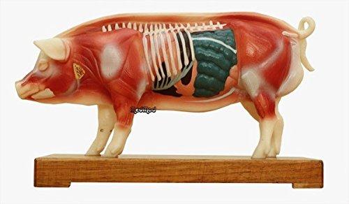 MedMod Akupunktur und Muskelmodell Schwein