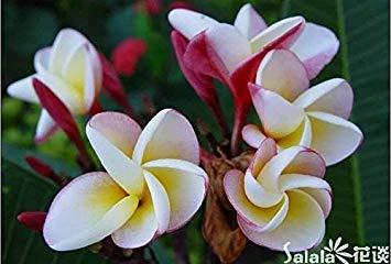 GEOPONICS 20PCS / BAG Maiglöckchen () Samen, seltene exotische Blumensamen