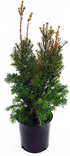 Taxus x media 'Hicksii' (Hicks Yew) Evergreen, #3 - Size Container