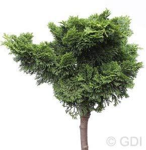 Hochstamm Muschelzypresse Nana Gracilis 60-80cm - Chamaecyparis obtusa