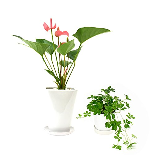 選べる観葉植物 陶器鉢2点セット (【4号】アンスリウム(ピンク)【3号】お好きな植物 (【3号】シュガーバイン)