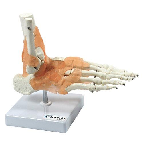S24.3445 Modelo anatómico de tobillo con ligamentos