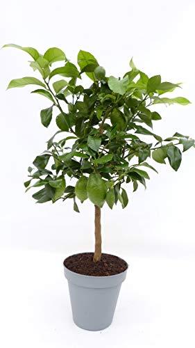 im Pflanzkübel: Zitrus Zitronenbaum 80-100 cm Zitrone Citrus limon Zitruspflanze