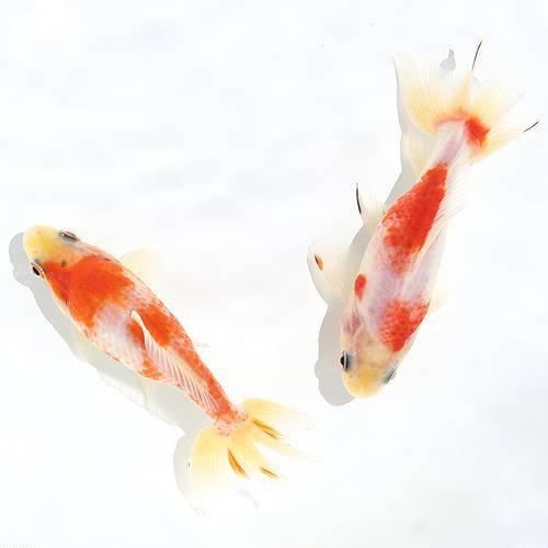 (国産金魚)桜和金(1匹) 本州・四国限定[生体]
