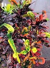 Rameshvar Enterprises   Croton Codiaeum variegatum Captain Kidd (क्रोटओन) - Plant