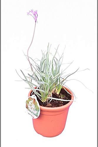 Knoblauchkraut - Wilder Knoblauch Zimmerknoblauch - Tulbaghia violacea - Größenauswahl (40-50cm - Topf Ø 24cm VARIEGATA)
