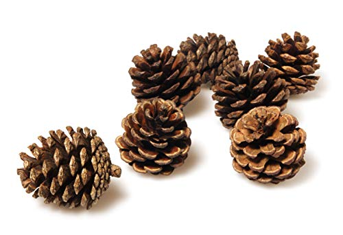 50 Pine Cones in Bulk for Crafts, Natural, Unscented!