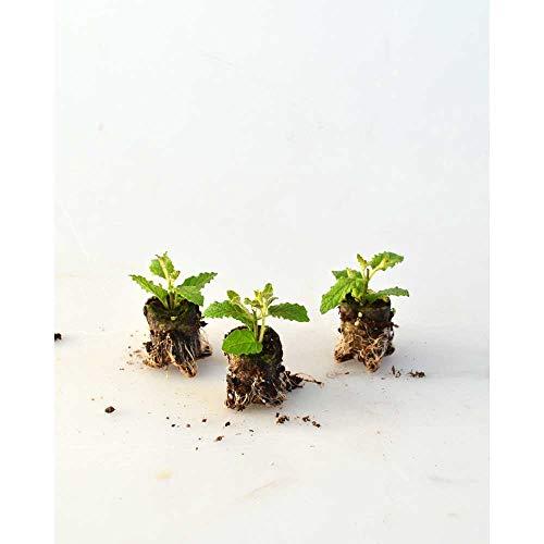 Kräuterpflanzen - Erdbeerminze/Almira® - Mentha species - 3 Pflanzen im Wurzelballen