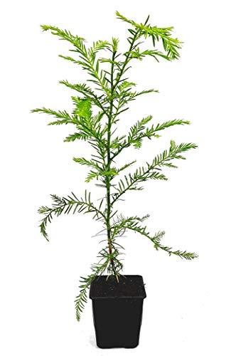 Seedeo® Küsten - Mammutbaum (Sequoia sempervirens) Pflanze ca. 15 cm -25 cm hoch
