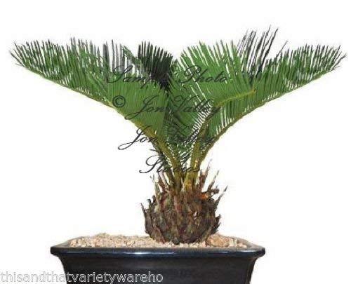 Sago Palmier Graines Cycas Revoluta Tropical 10 graines!