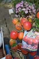 長寿ミニりんご鉢合え クリスマスプレゼントに実付きの赤いりんご
