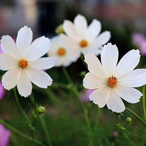 Lankfun Blumensamen Bunte,Kosmos...