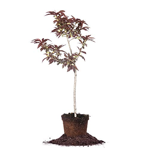 Bonfire Patio Peach Tree | 4 ft. Tall | Unique Foliage | Brightly Colored Foliage | Self-Pollinating, Produces Fruit
