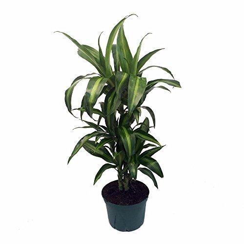 Hawaiian Sunshine Cane Dragon Tree - Dracaena - 6' Pot -Easy to Grow...