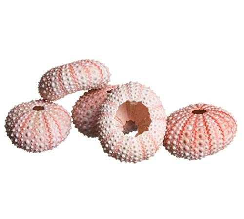 Sea Urchin   5 Pink Sea Urchin Shells 1'-2'   5 Pink Sea Urchins for Craft and Decor   Plus Free Nautical eBook by Joseph Rains