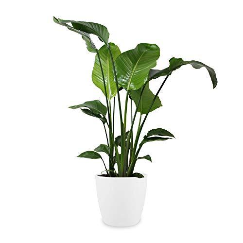 Botanicly - Exotische Zimmerpflanzen/Blumen – Paradiesvogelblume/Papageienblume (Strelitzia Nicolai) in weißem Übertopf - Höhe: 100 cm - Dekoration Wohnung Modern