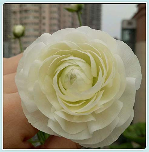 Ranunculus Bulbs - Beautiful Potted Fragrant Charming Home Perennial Magical Strong Roots,White,15 Bulbs