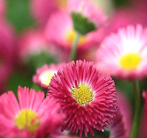 Big Pack - English Daisy Mixed Seed (25,000+) - Bellis perennis Long Flowering Season - Edible Flower Seeds by MySeeds.Co (Big Pack - English Daisy Mix)