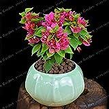 Bougainvillea Bonsai Colori sgargianti delle bouganville Spectabilis Willd Bonsai perenne Fiore Bonsai Garden Bonsai Vaso 100 Pz: 8