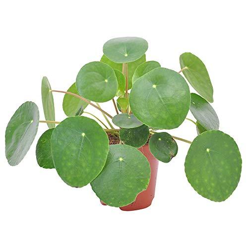 Pilea peperomioides | Urticaceae | Glückstaler | Chinesischer Geldbaum | Ufopflanze | Lieferhöhe 15-20cm | Topfgröße Ø 12 cm